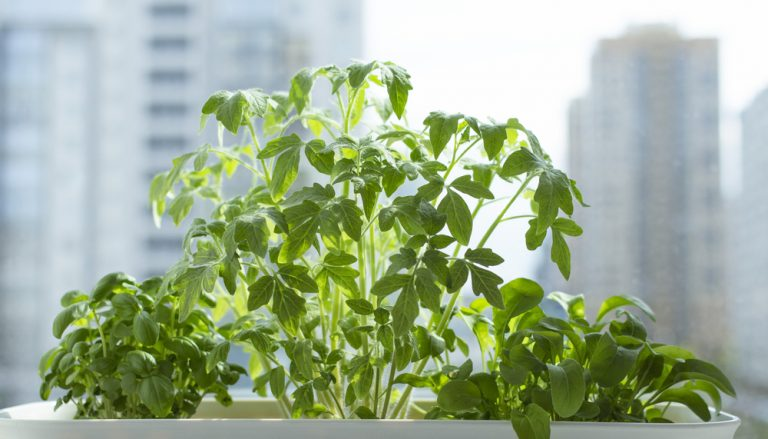 tomato plant and herbs